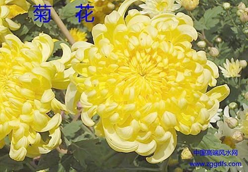 客厅风水植物,菊花象征延年益寿