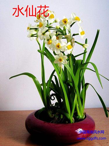 客厅风水植物,水仙花能旺财辟邪