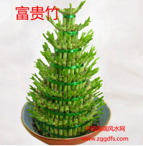 客厅风水植物,富贵竹能招财