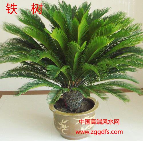 客厅风水植物,铁树能旺运