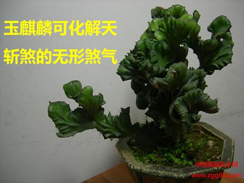 客厅风水植物,玉麒麟可化煞